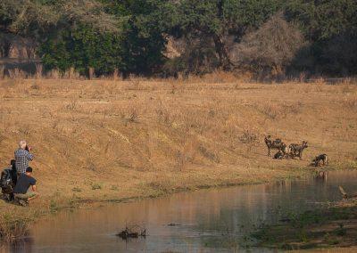 Vildhundar i Afrika