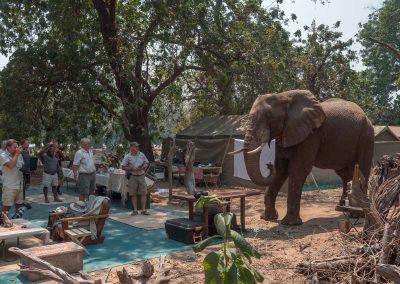 Elefant besöker vårt camp i Mana Pools
