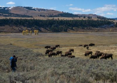 Bison i Yellowstone National Park