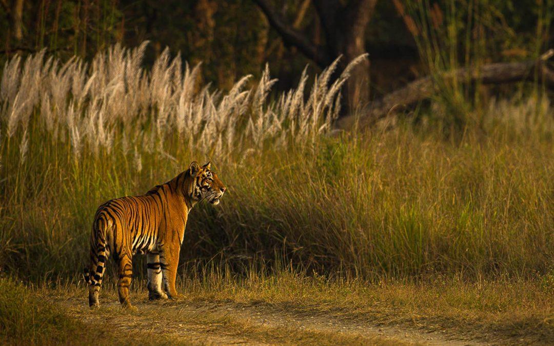 Tre Tigerparker
