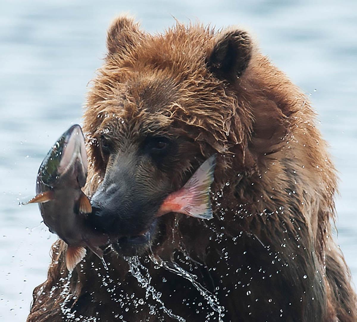 Kamchatkas Björnar