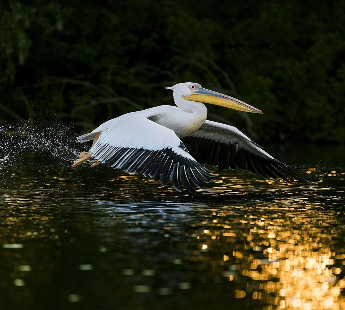 Donaudeltats Fågelliv
