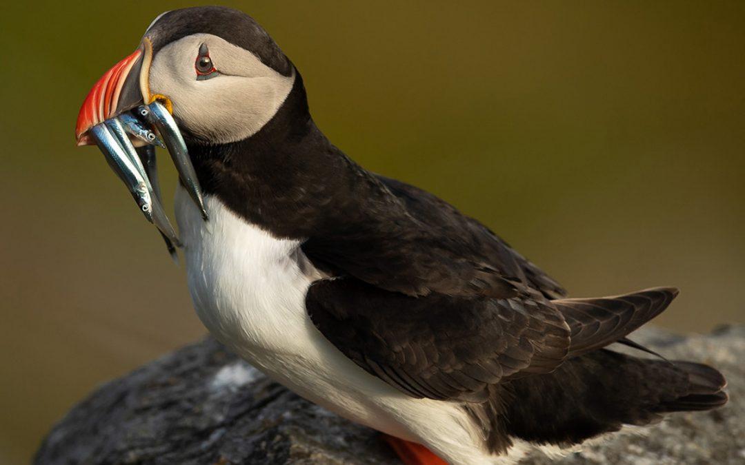 Lunnefåglarnas Ö