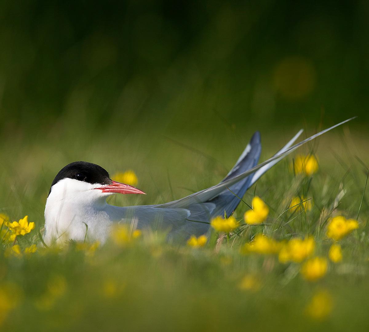 Shetlandsöarnas Fågelliv
