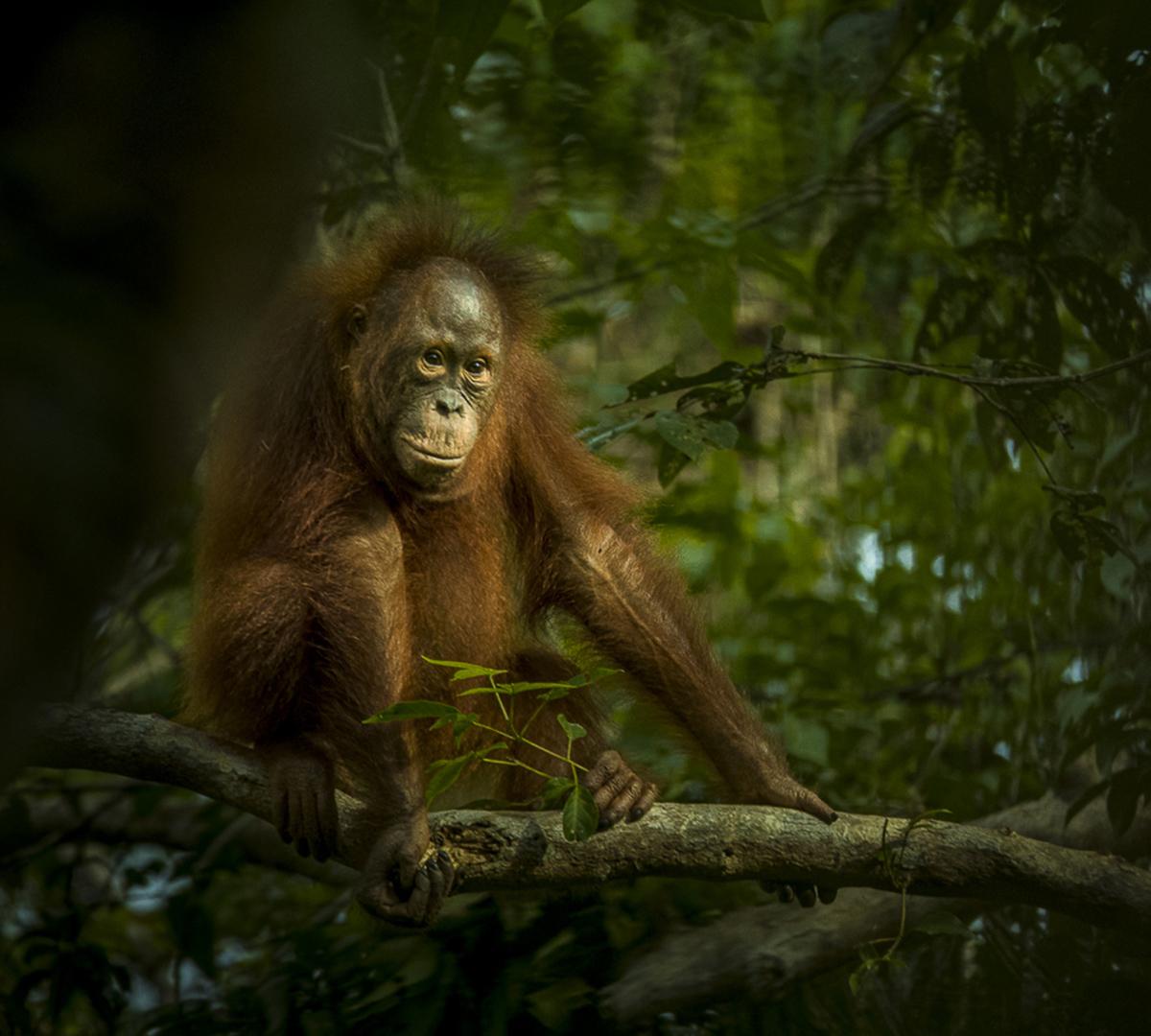 Orangutang & Komodovaran