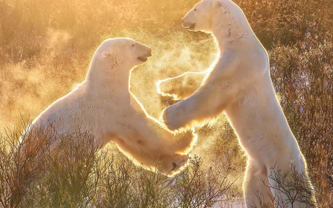 Kanadas Isbjörnar