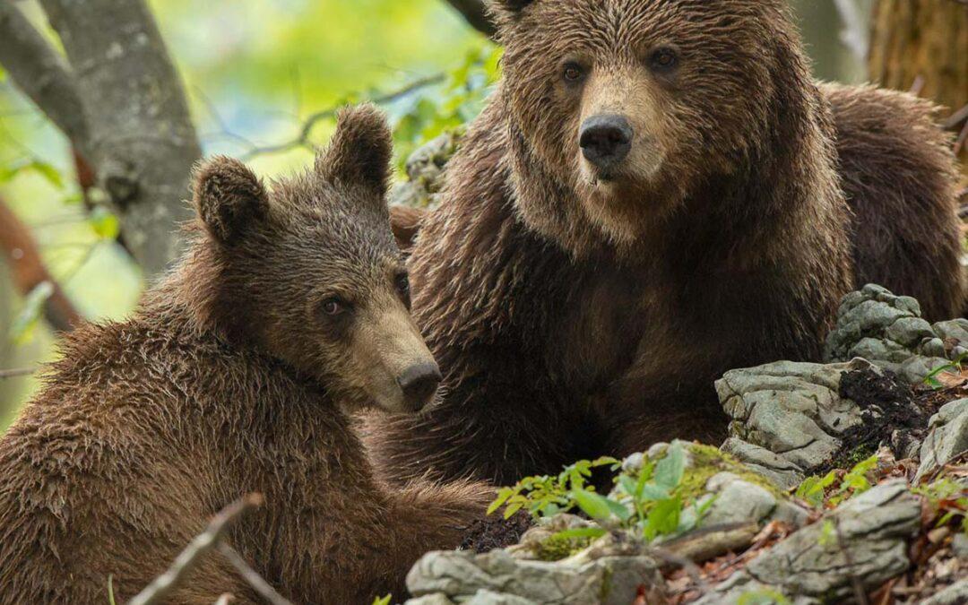 Sloveniens Björnar