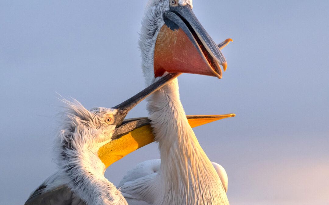 Mäktiga Pelikaner 360